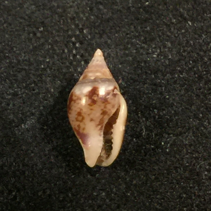 Columbella sonsonatensis (Mörch, 1860) - 8,1mm