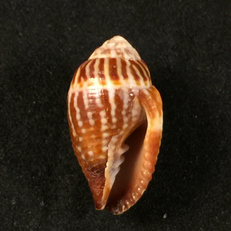 Strigatella retusa (Lamarck, 1811) - 21,4mm
