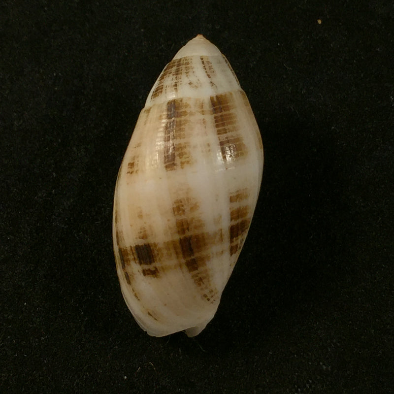 Pterygia nucea (Gmelin, 1791) - 31,7mm