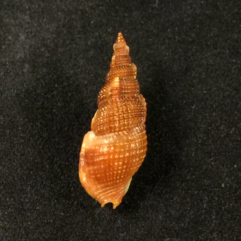Colubraria kathiewayana Fittkau & Parth, 1993 - 20,5mm