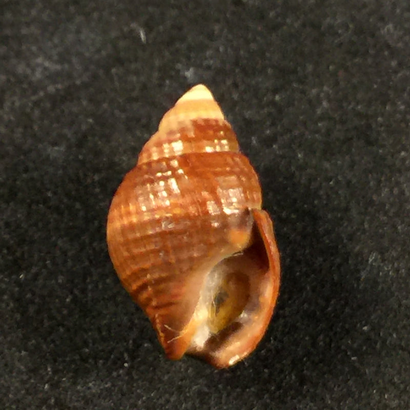 Tritia obsoleta (Say, 1822) - 15,1mm