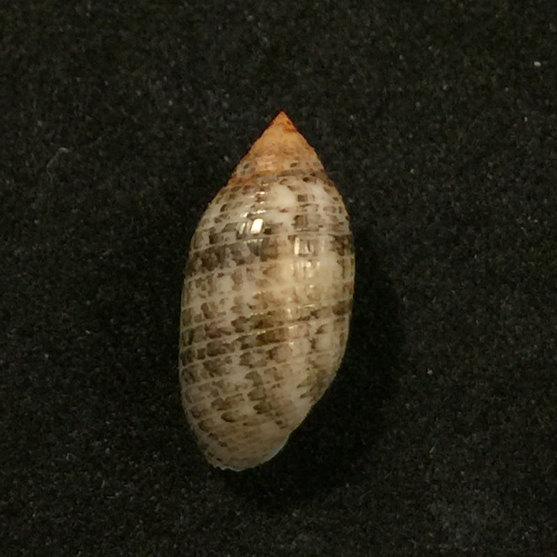 Pupa sulcata (Gmelin, 1791) - 14,5mm