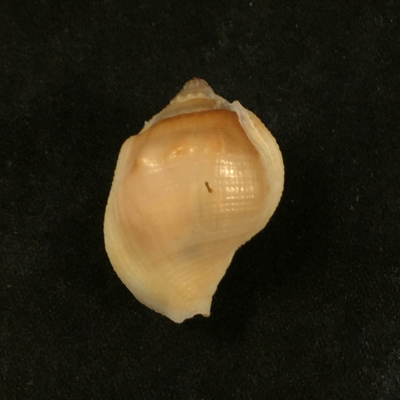 Aspa marginata (Gmelin, 1791) - 25,2mm
