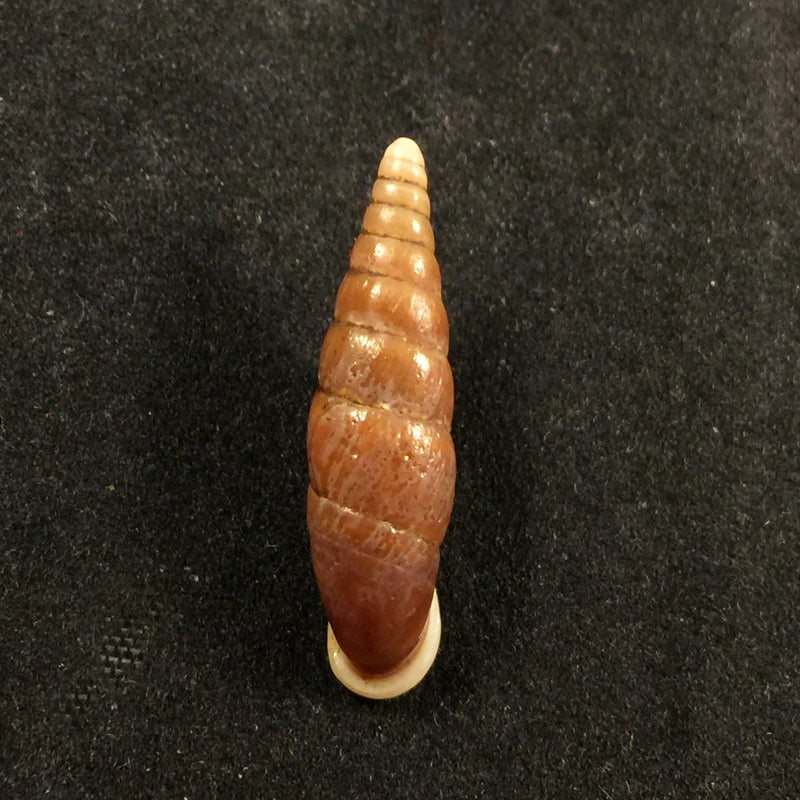 Oospira swinhoei (Pfeiffer, 1865) - 26,7mm