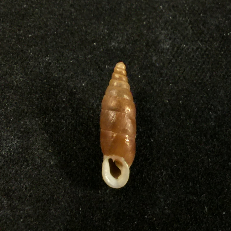 Valvatia vallata (Mousson, 1859) - 13,3mm