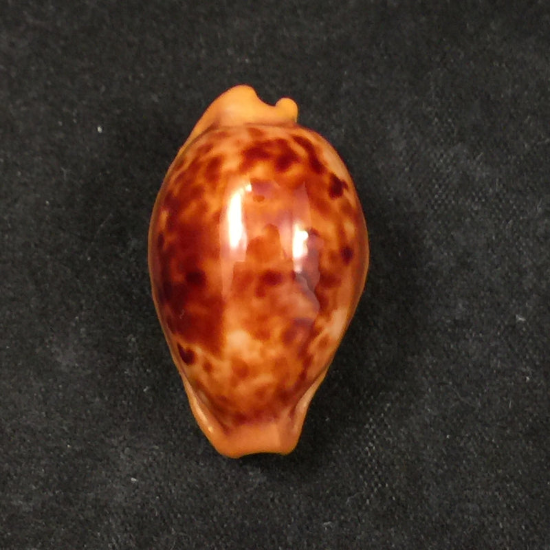Propustularia surinamensis (G. Perry, 1811) - 29,4mm