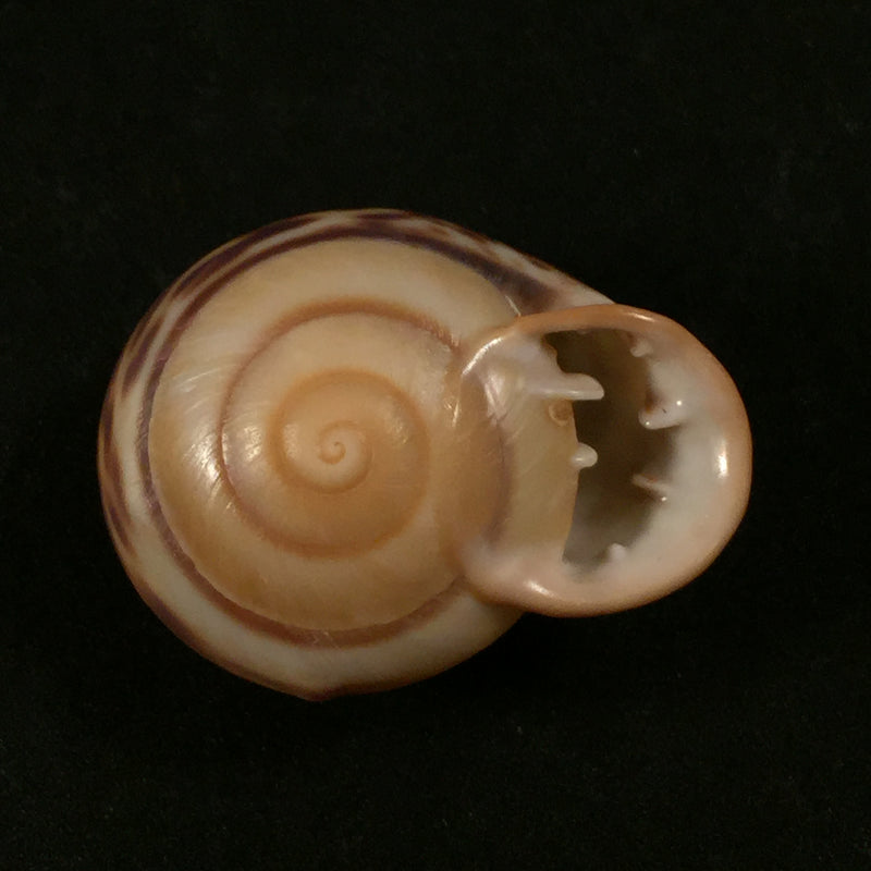 Anostoma depressum (Lamarck, 1822) - 35,2mm