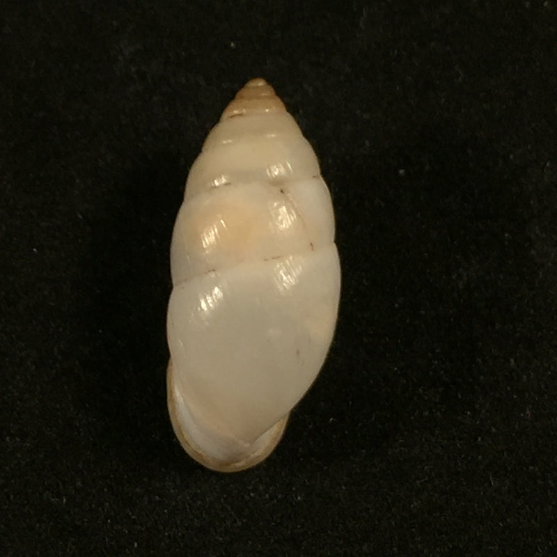 Plagiodontes dentatus (W. Wood, 1828) - 20,4mm