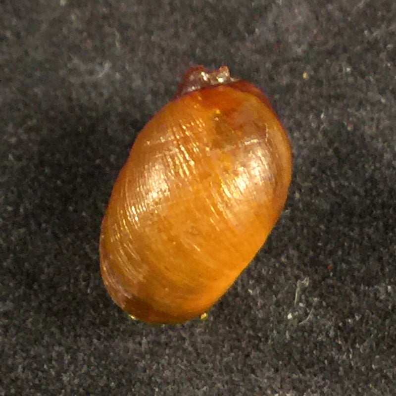 Chilina megastoma H. Scott, 1958 - 11,7mm