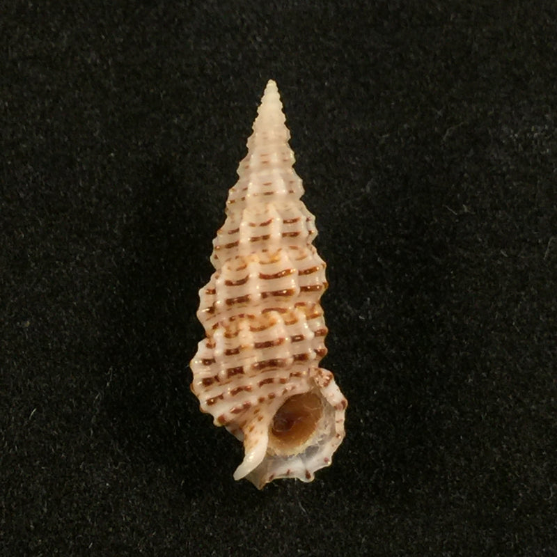 Cerithium muscarum Say, 1822 - 19,6mm