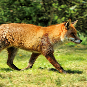 Top 10 facts about foxes