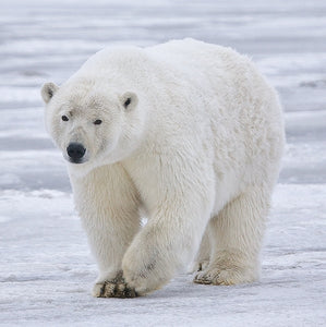 Polar bears and the decline of the Arctic