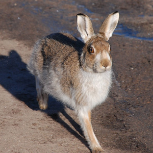 Scottish shooting lobby confirms mass shooting of mountain hares will go ahead next week