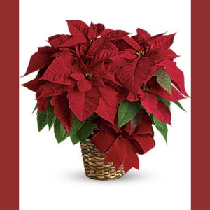 Red Rejoice: Poinsettia