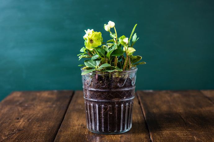 Hellebores in glass pot