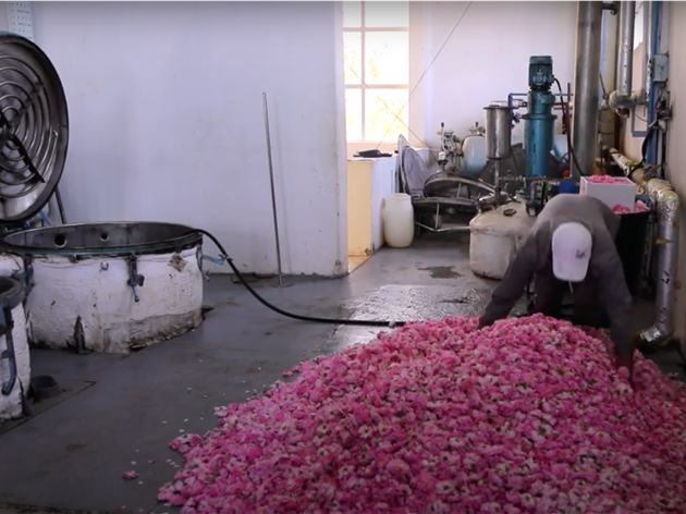 Rose oil production in Damascus Syria for The Herball