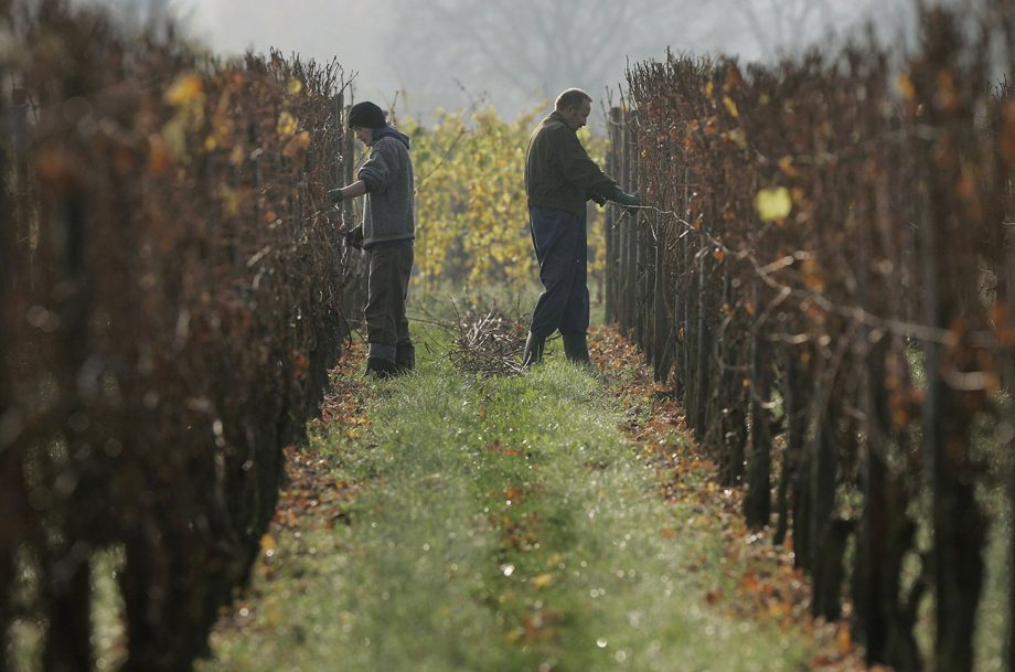 Climate change blamed for failed German ice wine vintage