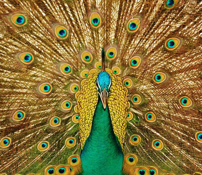 Peacock Spreading Tail Wallpaper AJ Wallpaper