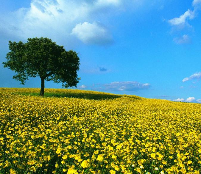 Yellow Camomile Fields - AJ Walls - 1