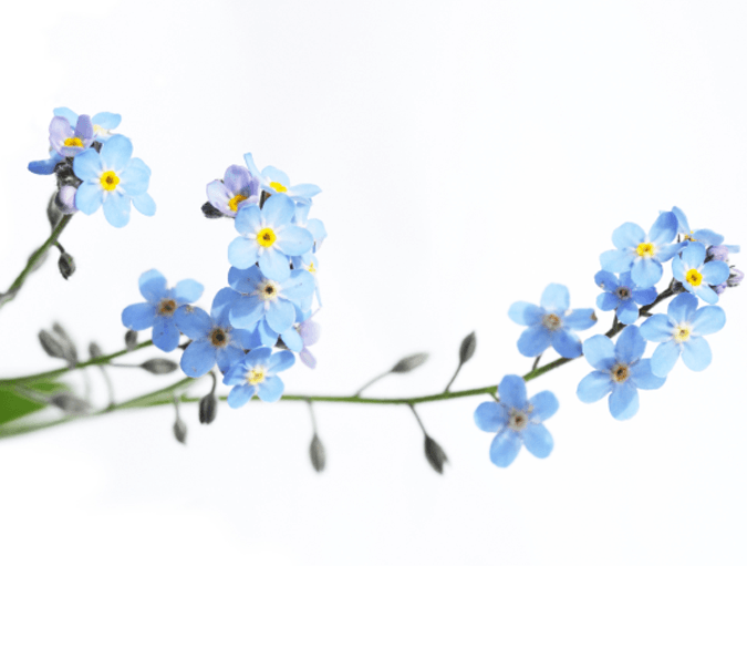 Blue Flowers 2 Wallpaper AJ Wallpaper