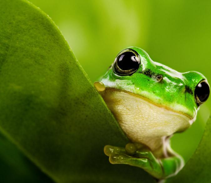Green Frog Wallpaper AJ Wallpaper