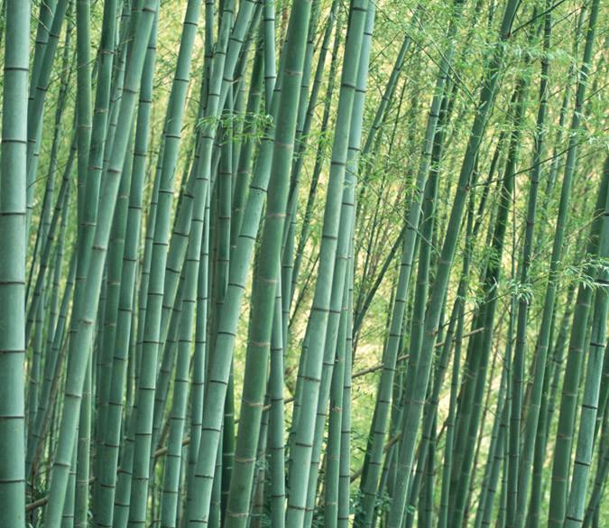 Bamboo Forest 9 - AJ Walls - 1