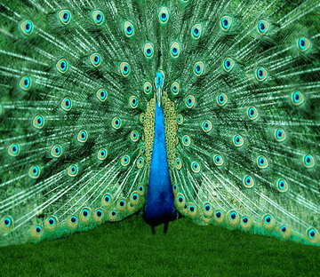 Peacock Spreading Tail 1 Wallpaper AJ Wallpaper