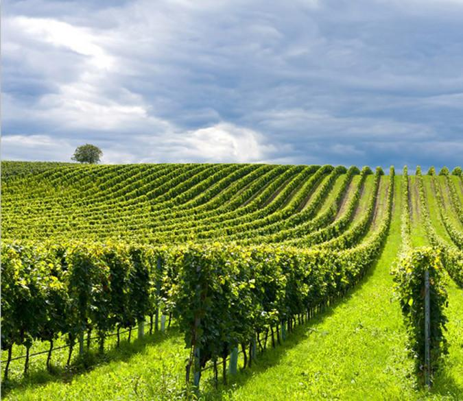 Green Vineyards 1 Wallpaper AJ Wallpaper