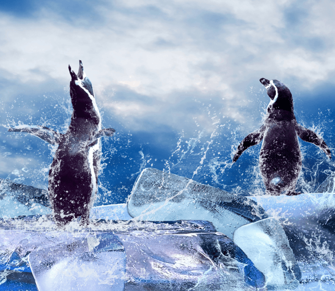 Singing Penguins Wallpaper AJ Wallpaper