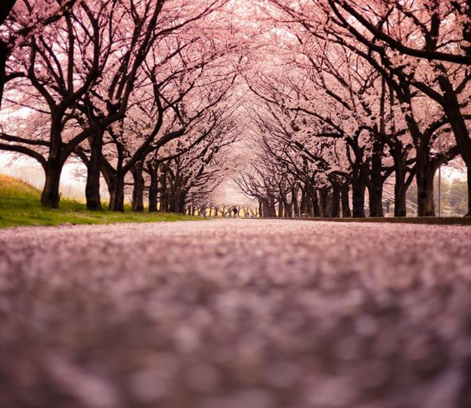 Blooming Cherry Trees - AJ Walls - 1