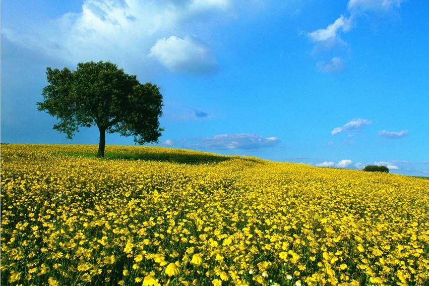 Yellow Camomile Fields - AJ Walls - 2
