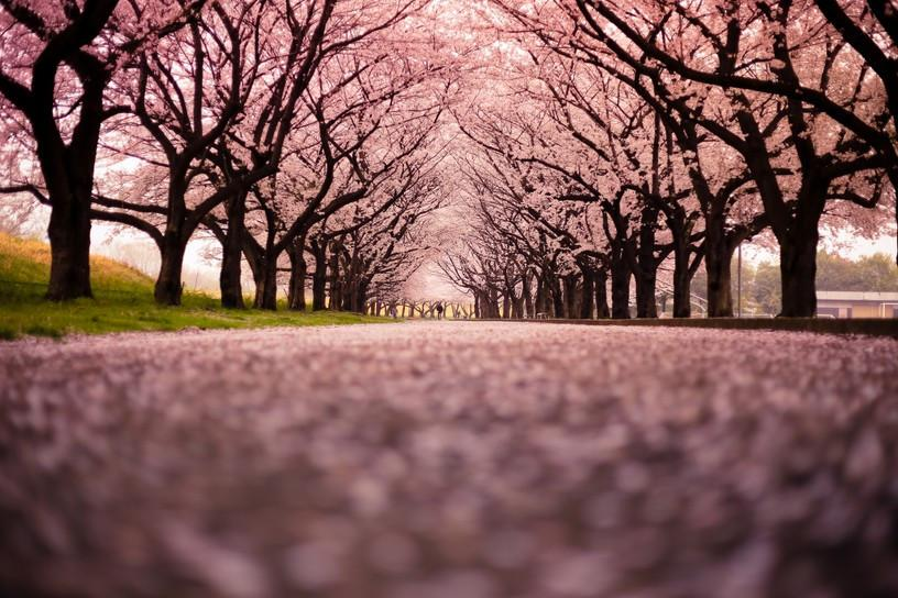 Blooming Cherry Trees - AJ Walls - 2