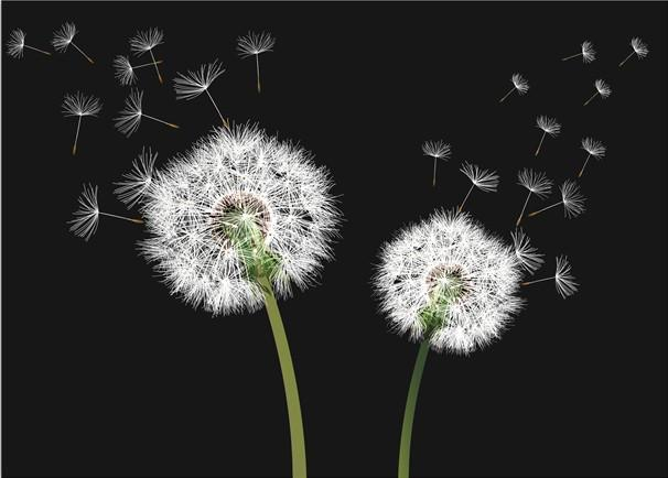 Seeding Dandelions Wallpaper AJ Wallpaper