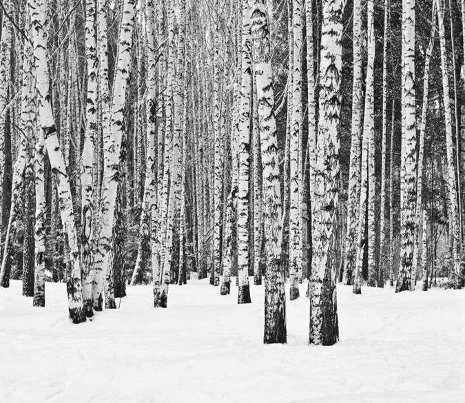 3D White Snow Trunk Forest 67 Wallpaper AJ Wallpaper