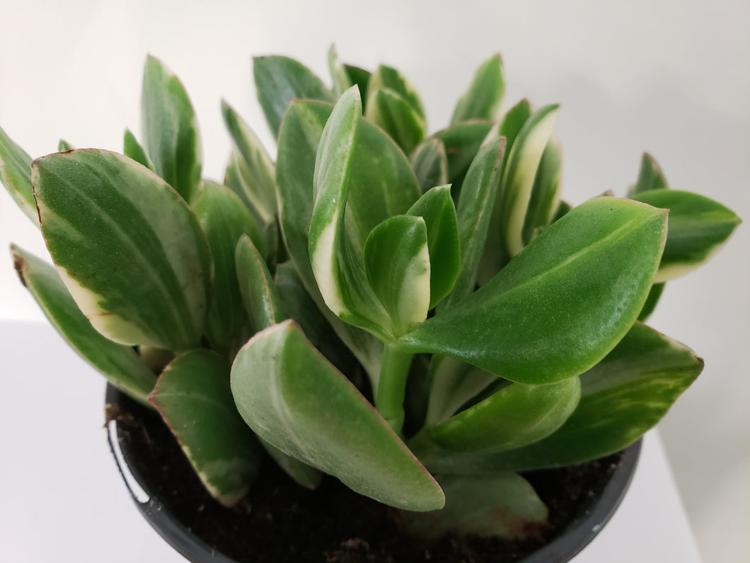 Crassula Jade 6in