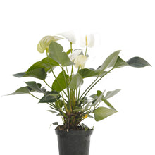 Load image into Gallery viewer, Anthurium White