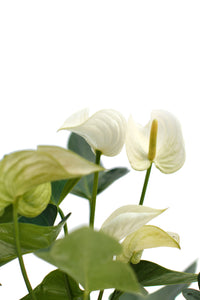Anthurium White