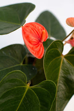 Load image into Gallery viewer, Anthurium Red