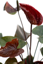 Load image into Gallery viewer, Anthurium Chocolate