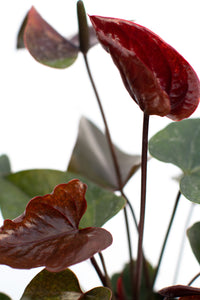 Anthurium Chocolate