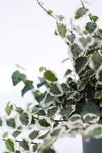 Load image into Gallery viewer, Ficus Repens Variegated