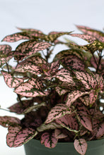 Load image into Gallery viewer, Hypoestes Pink