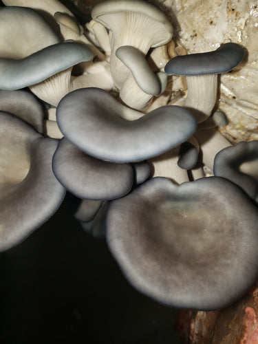 Beautiful King Blue Oyster Mushrooms