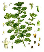 Horehound Herb Marrubium vulgare