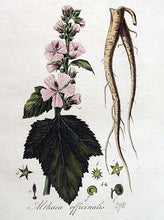 Marshmallow Root Althaea officinalis