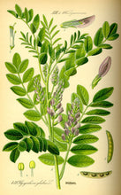 Licorice Sticks - Plant - Glycyrrhiza Glavra