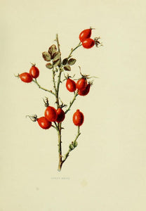 Rose Hips Whole Rosa canina