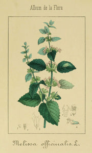 Lemon Balm c/s Melissa officinalis