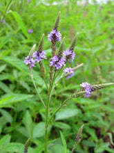 Blue Vervain - Wildcrafted Verbena Spp