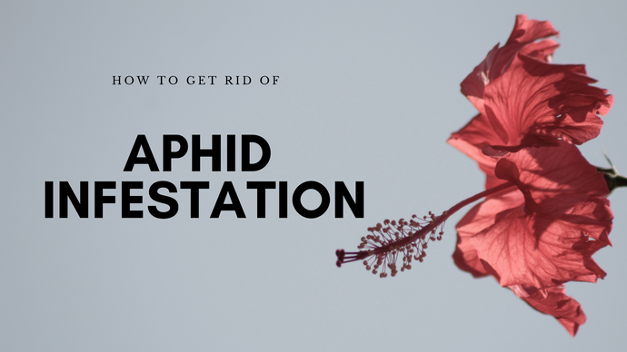 How to get rid of Aphid Infestation